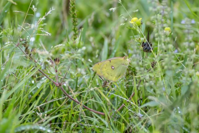 昆虫记 东亚豆粉蝶