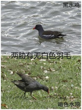 黑水鸡与暗色水鸡的辨识