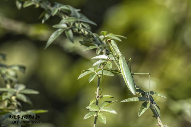 昆虫记|中华大刀螳
