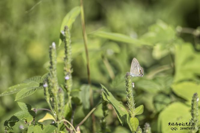 昆虫记|亮灰蝶