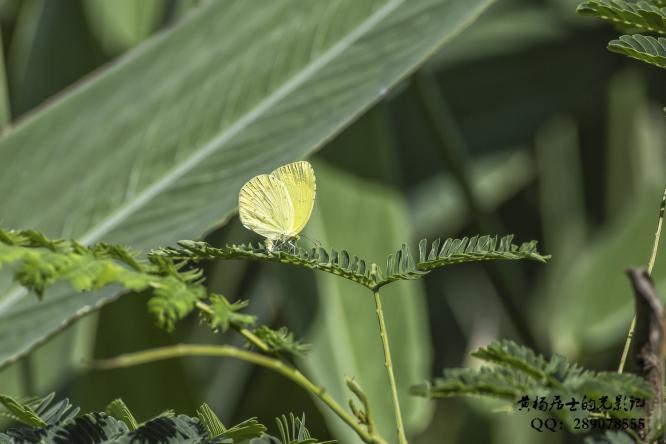 昆虫记|宽边黄粉蝶