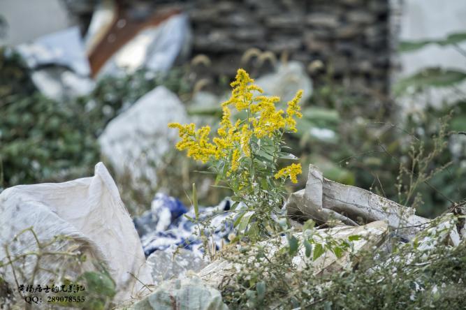 植物记|加拿大一枝黄花