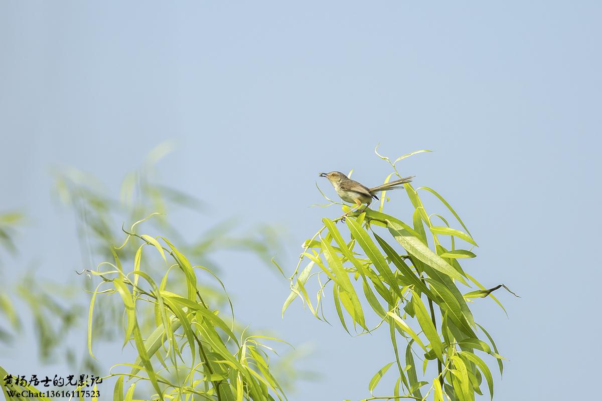 飞羽记|纯色山鹪莺