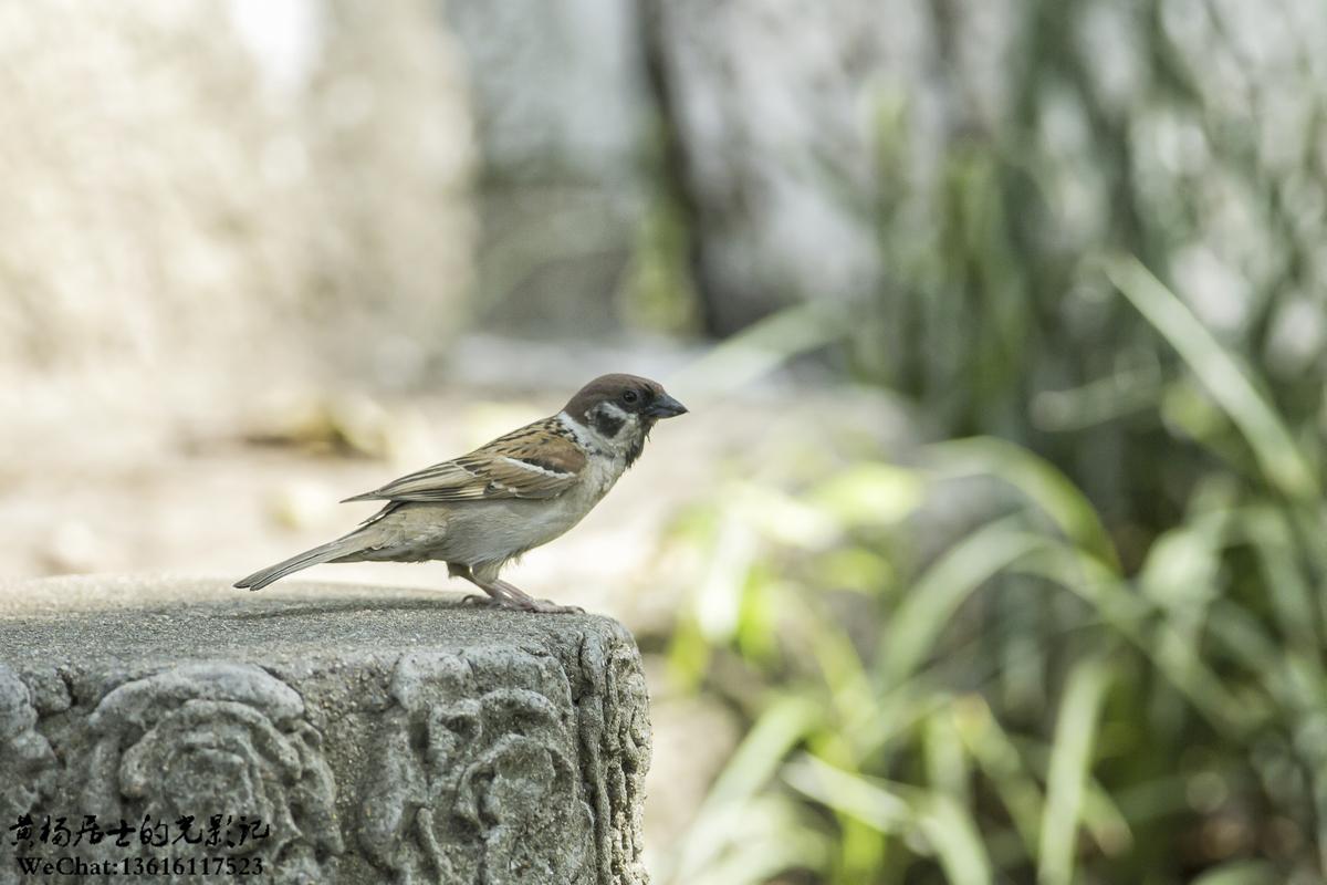 观鸟入门|常州城市常见鸟类40种