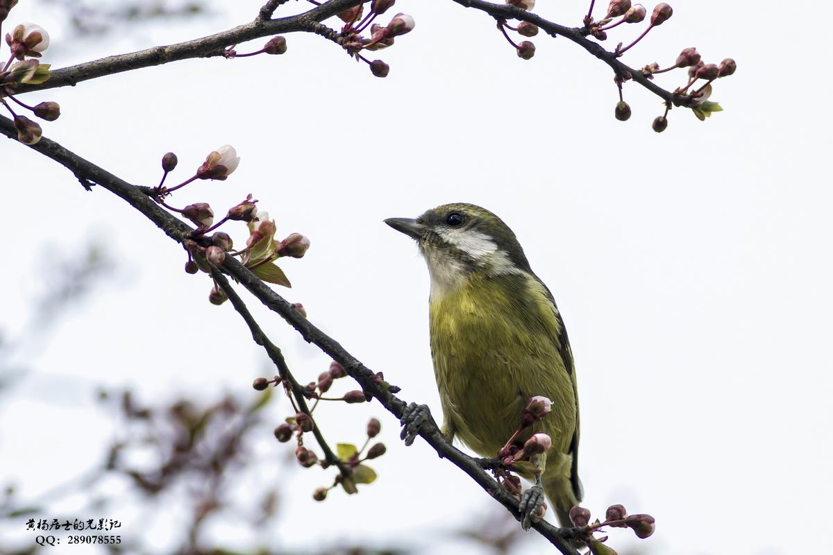 黄颊山雀叫声_观鸟入门 常州城市常见鸟类40种 - 祁记网   专注于自然观察