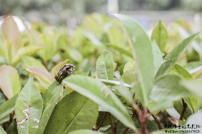 昆虫记|白星花金龟