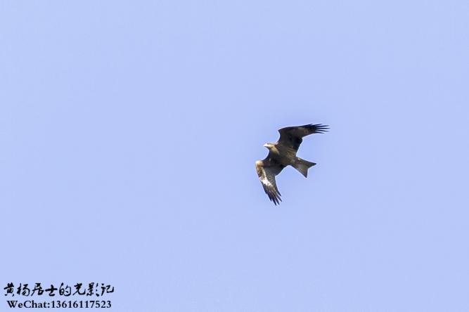 飞羽记 黑鸢(原黑耳鸢)