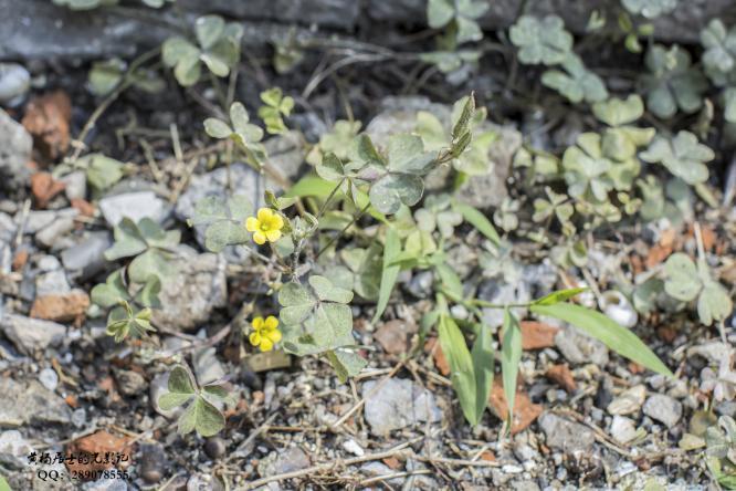 植物记|黄花酢浆草