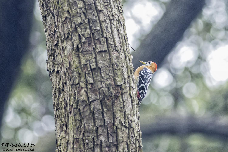 鸟讯|棕腹啄木鸟又出现了