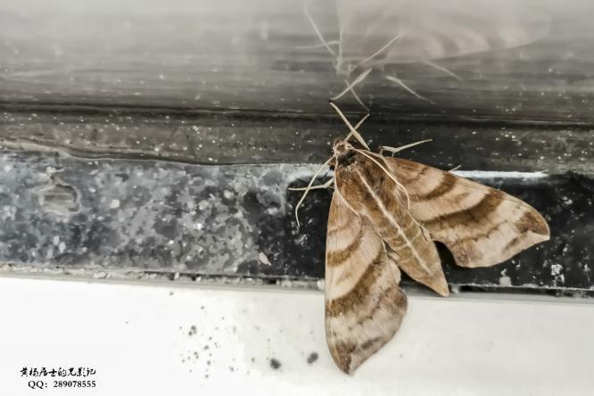 昆虫记|葡萄天蛾