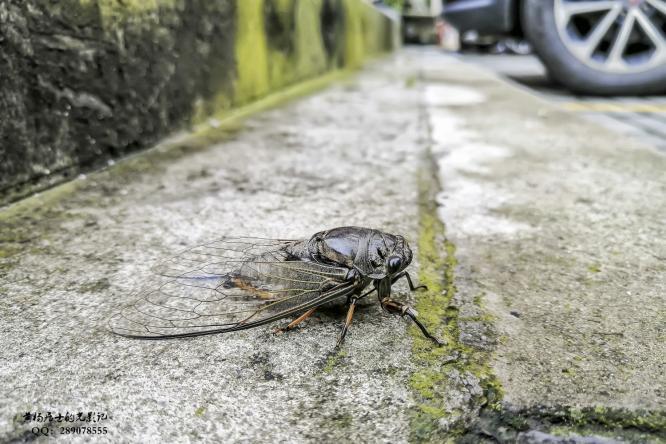昆虫记|黑蚱蝉