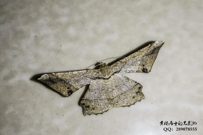 昆虫记|樟三角尺蛾