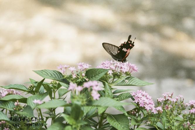 昆虫记|红珠凤蝶