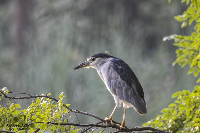图说 省常中观鸟小记之2020.09.06