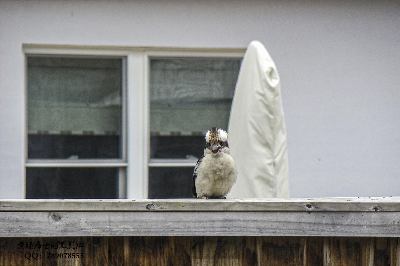 澳大利亚观鸟(澳大利亚鸟友birder的攻略)