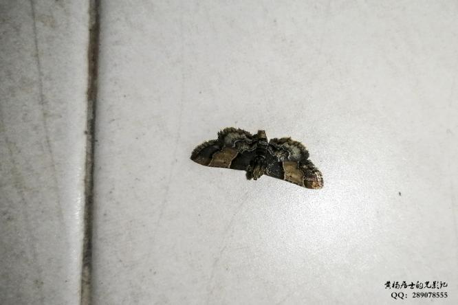 昆虫记|锈纹螟蛾