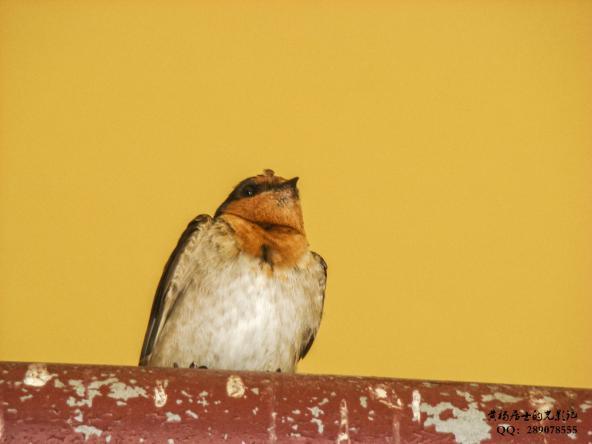 飞羽记|迎燕