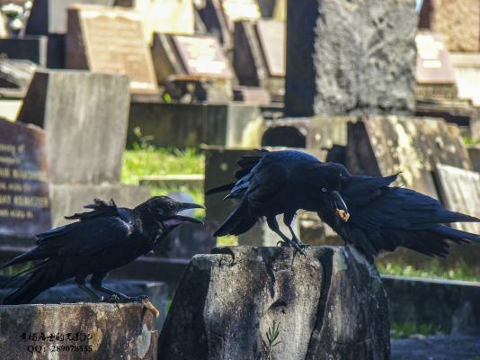 飞羽记|澳洲渡鸦
