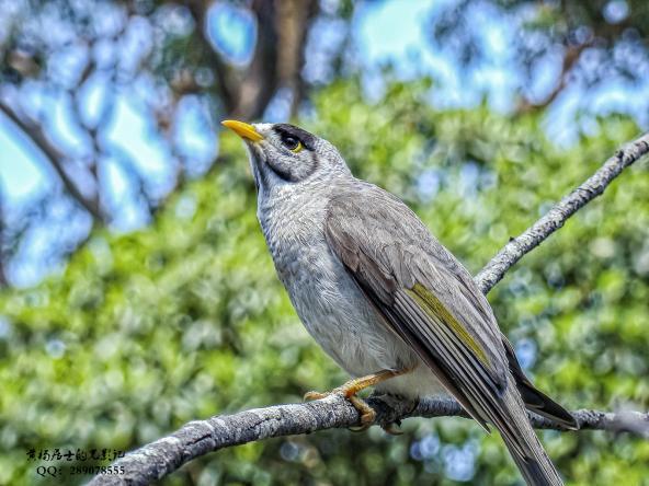 飞羽记|黑额矿吸蜜鸟
