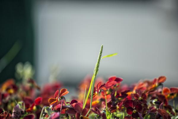 植物记|看麦娘