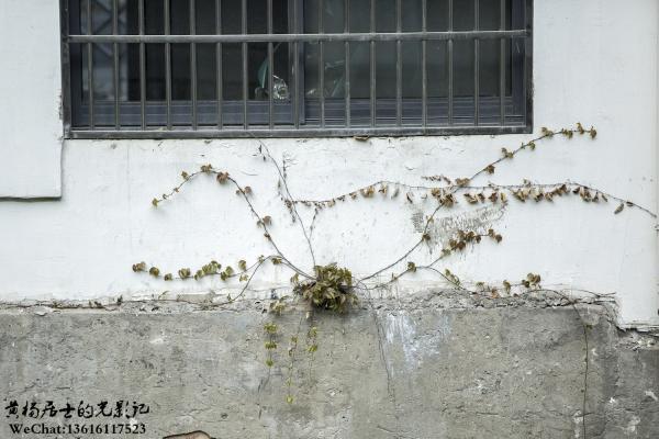植物记|地锦(葡萄科地锦属)