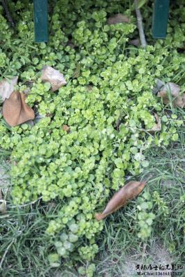 植物记|婆婆纳