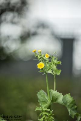 植物记|苦苣菜
