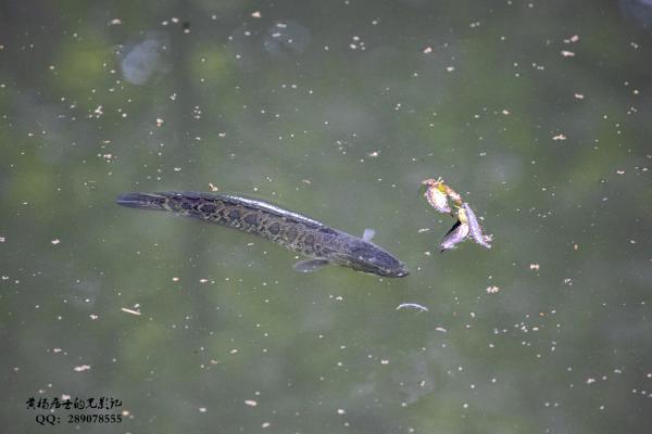 鱼记|乌鳢