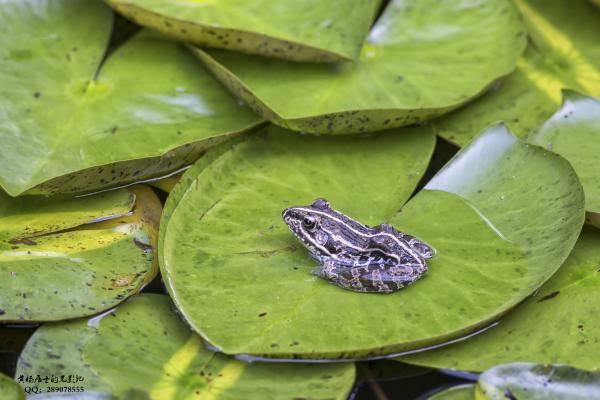 两栖记|黑斑侧褶蛙