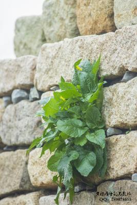 植物记|芥菜