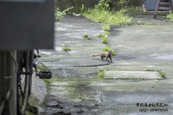 兽记|黄鼬