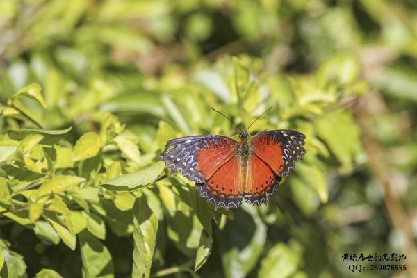 昆虫记|红锯蛱蝶