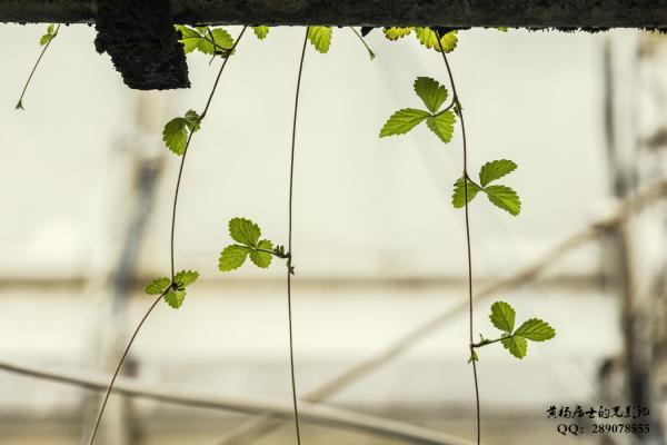 植物记|蛇莓