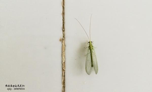 昆虫记|大草蛉