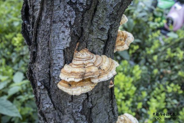 菌记|树舌灵芝