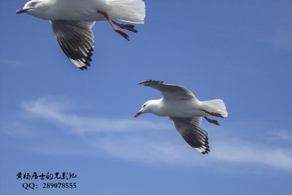 飞羽记|澳洲银鸥